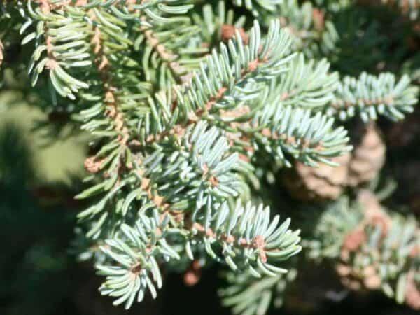 Pure Black Spruce Essential Oil