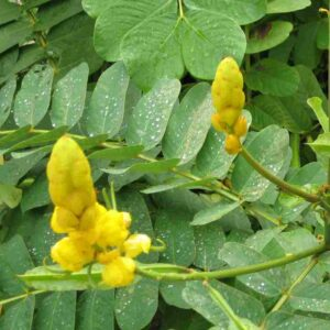 Pure Cassia Essential Oil