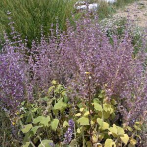 Pure Clary Sage Essential Oil