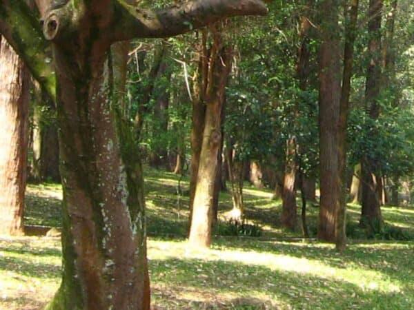 Pure Copaiba Balsam Essential Oil