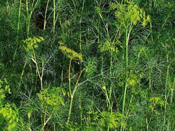 Pure Dill Weed Essential Oil