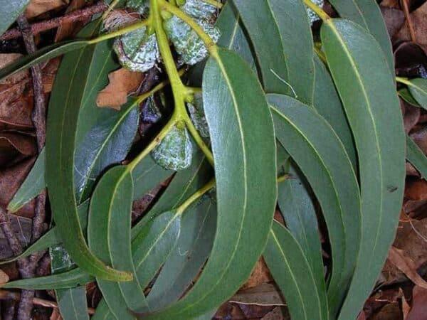 Pure Eucalyptus Globulus Essential Oil