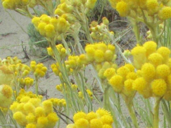 Pure Helichrysum Essential Oil