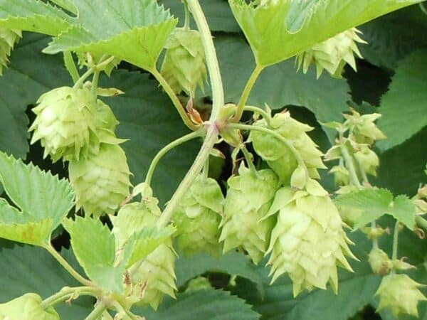Pure Hops Essential Oil