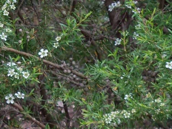 Pure Lemon Tea Tree Essential Oil