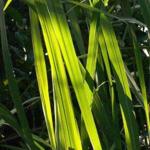 Pure Lemongrass Essential Oil
