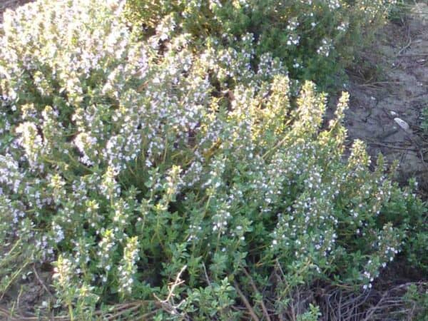 Pure Thyme Essential Oil (Linalool)