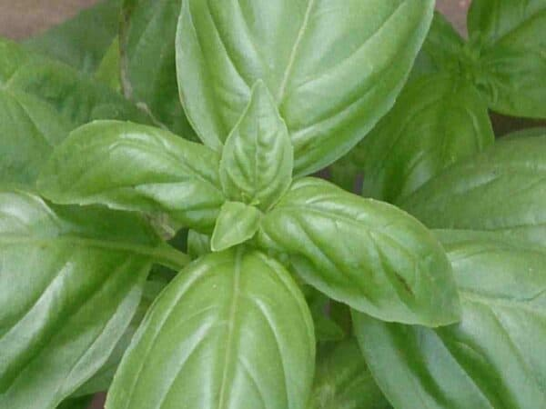 Pure Basil Essential Oil, Sweet (Linalool)